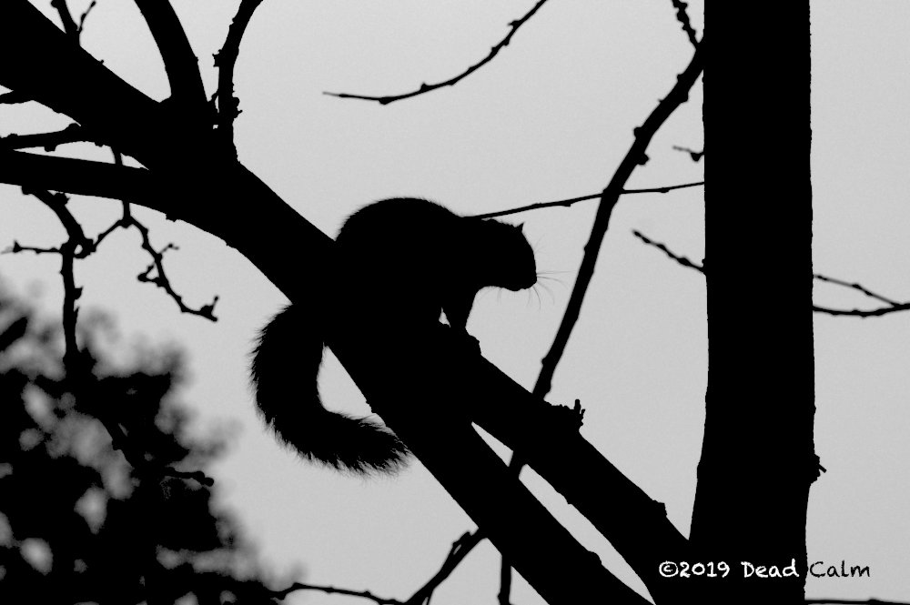 squirrel silhouette n 500 0702 by Dawg Pics in Member Albums
