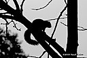 squirrel silhouette n 500 0702