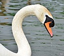 Swan by Chrissthelittlesnapper in Member Albums