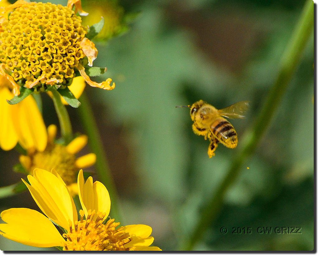 bee flight-1-cr by cwgrizz in Member Albums