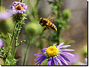 bee flight-2-cr by cwgrizz in Member Albums