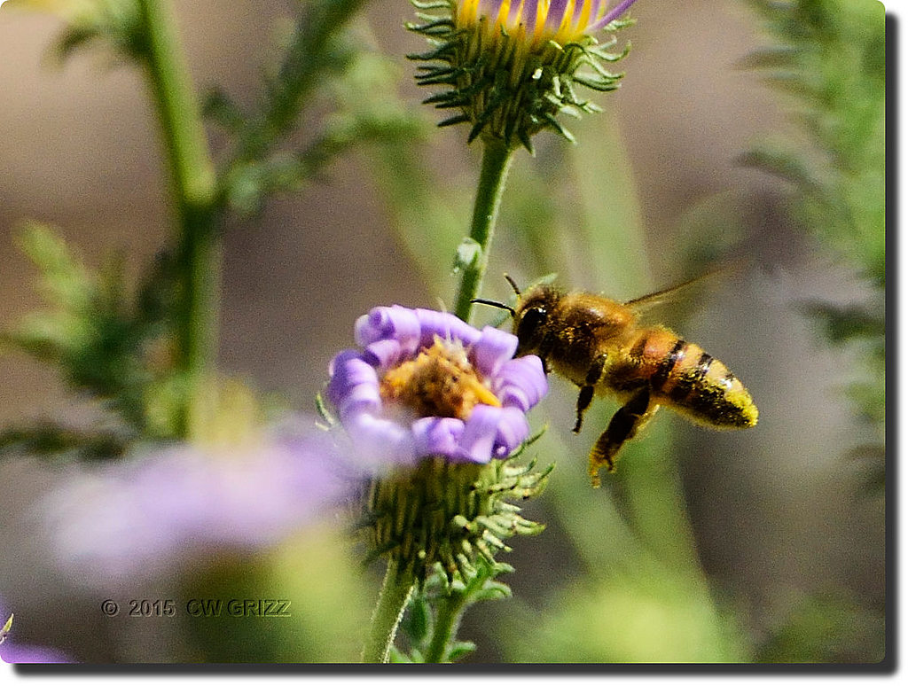 bee flight-3-cr by cwgrizz in Member Albums