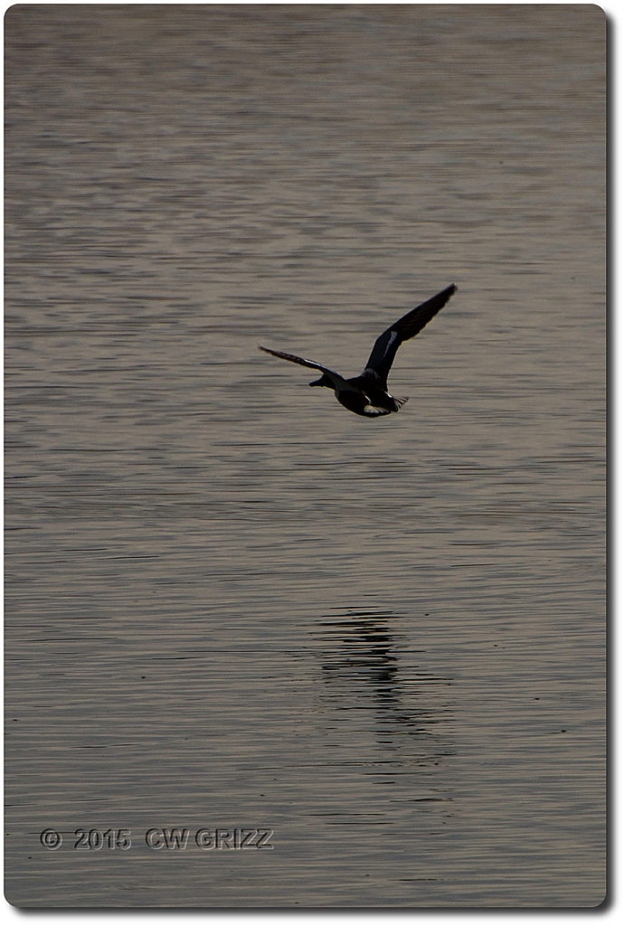 duck-fly-willcox-view-cr 15-12-07 by cwgrizz in Member Albums
