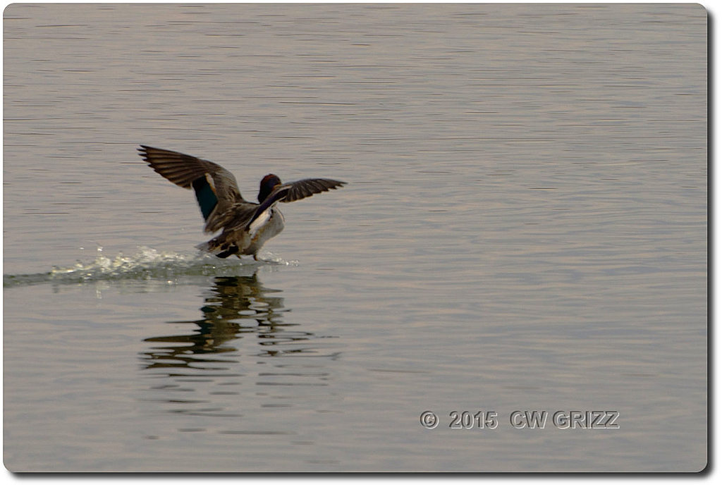 duck-flyb-willcox-view-cr 15-12-07 by cwgrizz in Member Albums