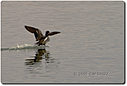duck-flyb-willcox-view-cr 15-12-07 by cwgrizz