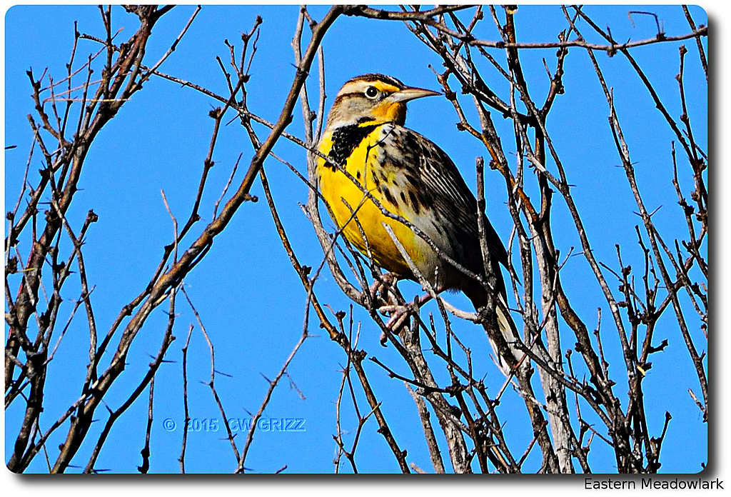 Eastern Meadowlarks are here. by cwgrizz in Member Albums
