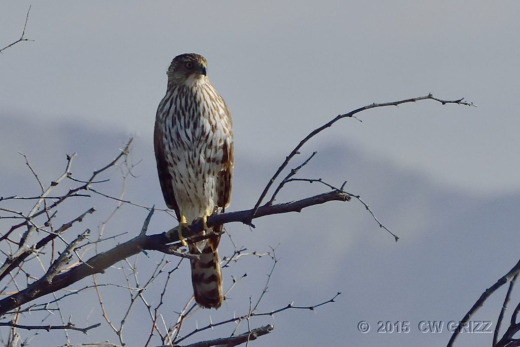 hawk2-17-15-cr by cwgrizz in Member Albums