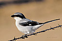 loggerhead shrike-2-cr 2685 by cwgrizz in Member Albums