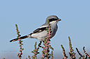 loggerhead shrike-cr 2682 by cwgrizz in Member Albums