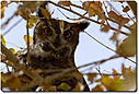 owl-d7100 15-12-11-cr dsc184 by cwgrizz in Member Albums