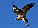 red-tail-hawk-flight10-3-15-cr by cwgrizz in Member Albums