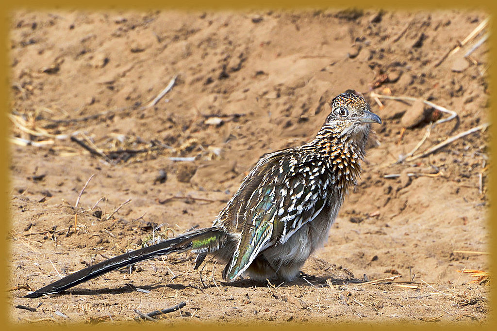 Roadrunner--I didn't do it! by cwgrizz in Member Albums