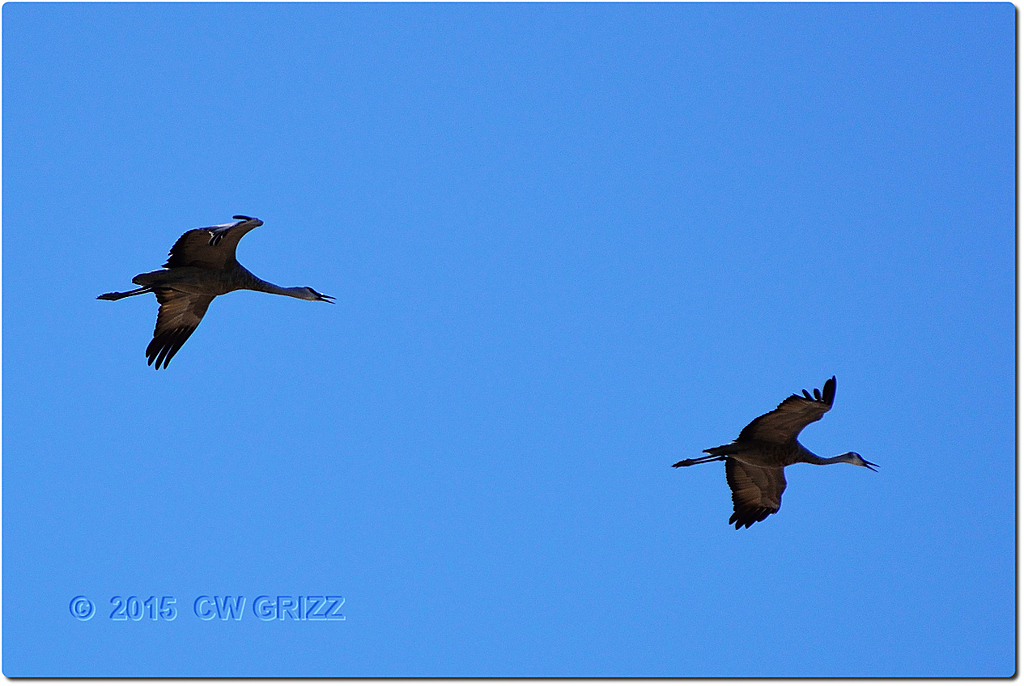 sandhill crane  10-14-15 by cwgrizz in Member Albums