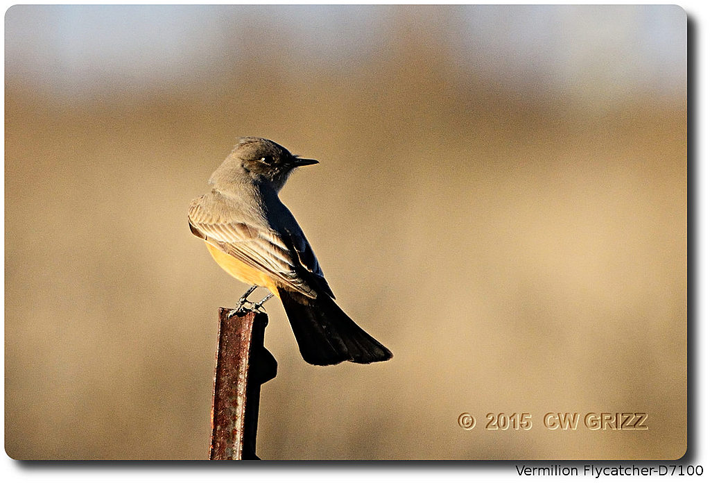 vermilion-flycatcher 15-12-06 cr d7100 by cwgrizz in Member Albums