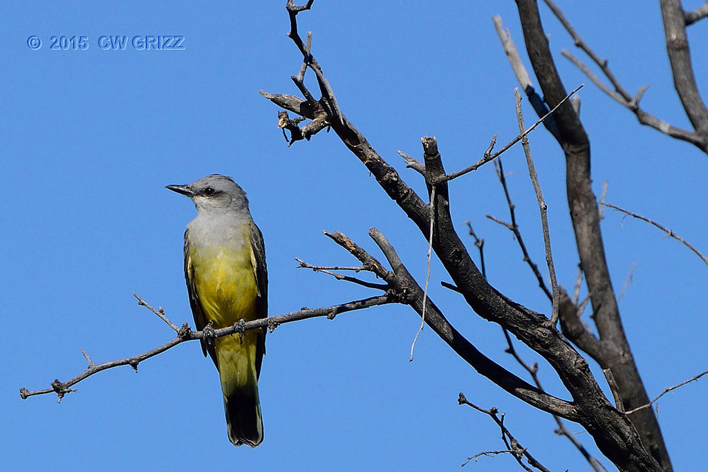 western-kingbird10-1-15-cr by cwgrizz in Member Albums