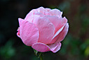 pink rose by traceyjj in Member Albums