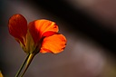 nasturtium by paul04 in Member Albums