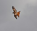Red Kites by Ruthh in Member Albums