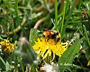 tri color bumble bee by Mis Adam in Member Albums