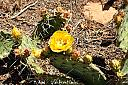 Yellow cactus blossom by Mis Adam in Member Albums