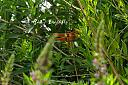 flame skimmer by Mis Adam in Member Albums