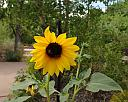 sunflower with two bees and a suprise by Mis Adam in Member Albums