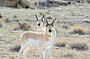 Two Pronghorn Antelope Yearlings by johnj167 in Member Albums