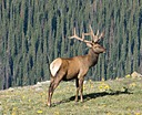 Majestic Elk by johnj167 in Member Albums
