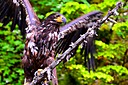 AK-0138 Ketchikan Misty Fjords Bald young bald Eagle flying camera crop.JPG by PTphoto in PTphoto