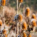 Thistle by CImagery