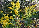 Goldenrod explosion by jstimagine in Member Albums