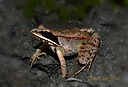 Wood Frog by jstimagine in Member Albums