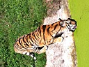 Tiger by Ann in Member Albums