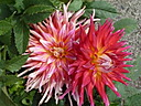 Dahlias by coolbus18 in Member Albums
