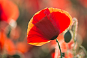 Bright poppy by Griso in Member Albums