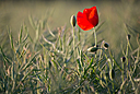 Lone poppy by Griso in Member Albums