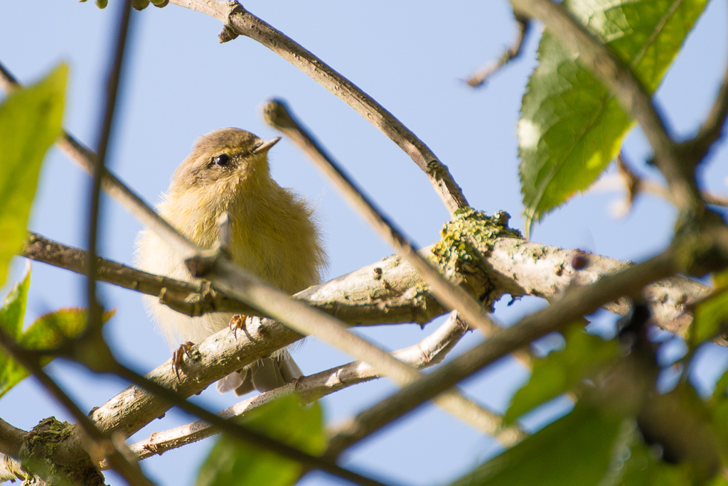 Willow Warbler by Griso in Member Albums