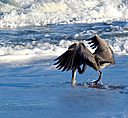 heron-in-the-surf11292014 49 by dennybeall in Member Albums