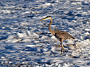 Heron in the surf by dennybeall in Member Albums