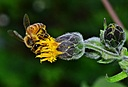 Bee by Pedro Mx in Member Albums