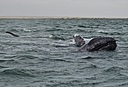 Gray whales by Pedro Mx in Member Albums