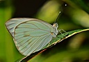 Pallid tilewhite by Pedro Mx in Member Albums