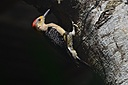 Woodpecker by Pedro Mx in Member Albums