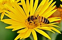 A busy bee by Pedro Mx in Member Albums