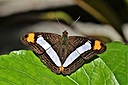Adelpha iphicleola by Pedro Mx in Member Albums