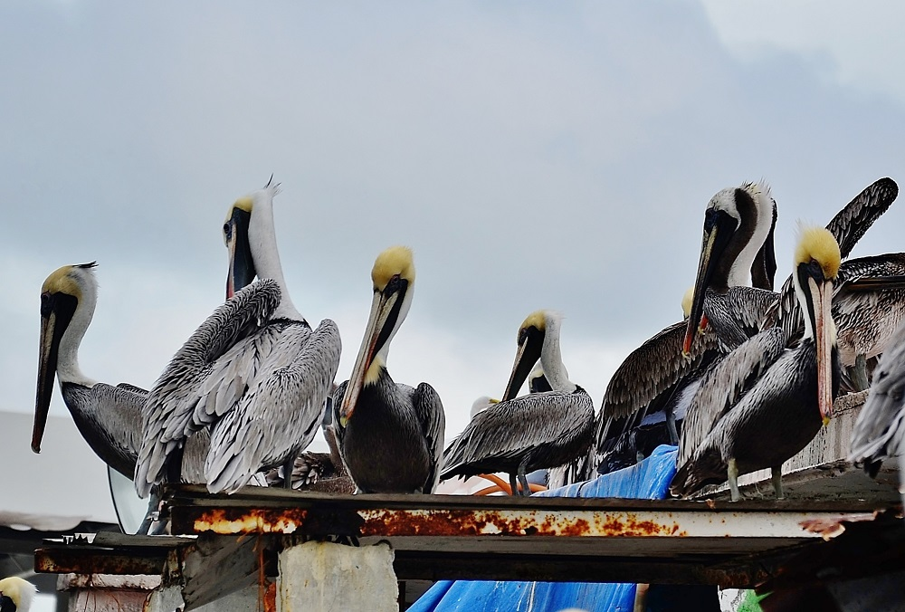 Pelicans by Pedro Mx in Member Albums