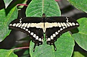 Papilio cresphontes by Pedro Mx in Member Albums