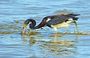dsc tri color heron looking for lunch 2 sm by SteveB in Member Albums