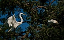 great white egret back to nest with long stick small by SteveB in Member Albums