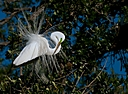 great white egret displaying feathers and preening small by SteveB in Member Albums
